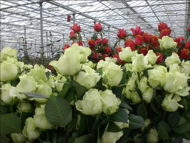питомники роз в домодедовском и ступинском районе подмосковья Антони Гауди